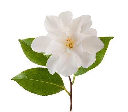 白で隔離の葉と椿の花 写真素材
