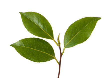 Camellia branch with leaves isolated on white Stock Photo