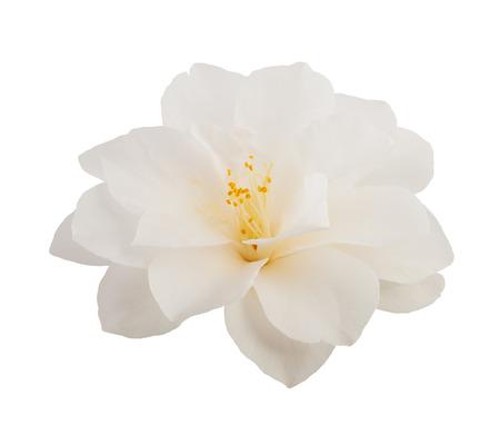 fiore isolato: camelia fiore isolato su bianco