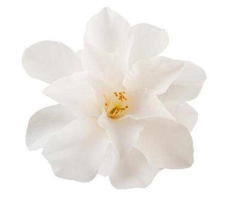 椿の花は白で隔離