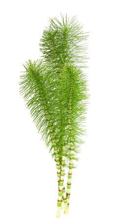 Cutting  horsetail plants isolated on white background Stock Photo