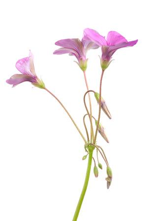 wood sorrel: Flores alaz�n de madera aisladas sobre fondo blanco