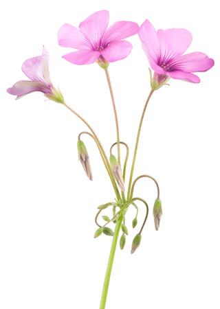wood sorrel: Wood sorrel flowers isolated on white background