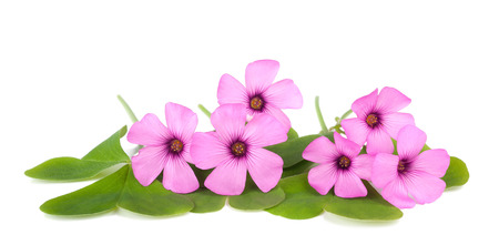acetosella: Wood sorrel flowers with leaves isolated on white background