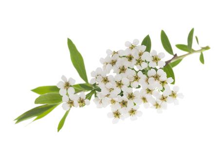 花は、白い背景で隔離のサンザシ (サンザシ monogyna) 支店