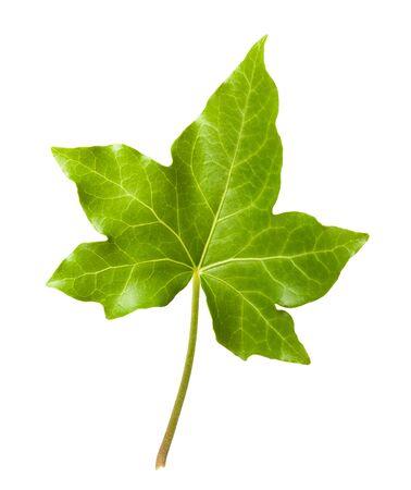 ivy vine: Ivy leaf isolated isolated on white background Stock Photo