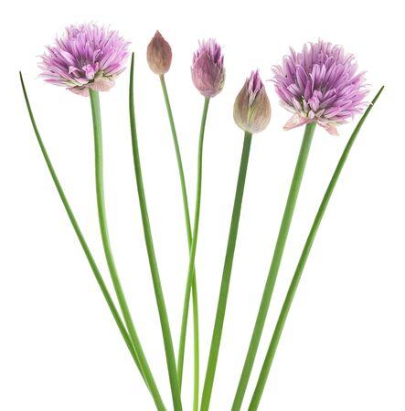 cebollin: Cebolletas con flores aisladas sobre fondo blanco Foto de archivo