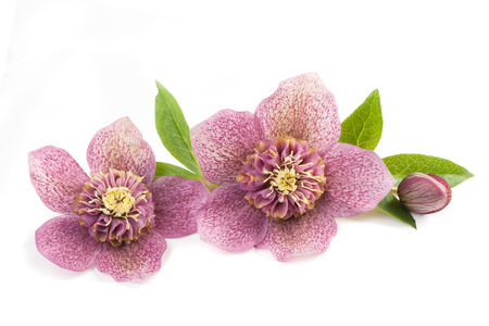 stinking: Hellebore flowers with bud isolated on white
