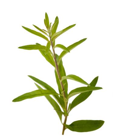 Lippia polystachya (verbena) isolato su sfondo bianco Archivio Fotografico
