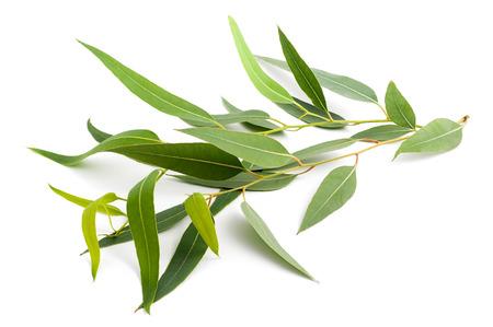 eucalyptus branche isolé sur un fond blanc