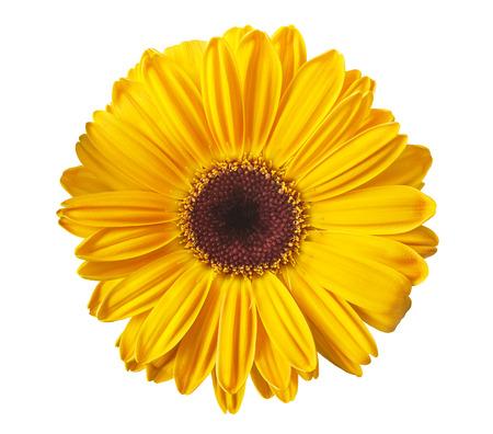 흰색에 고립 된 노란 gerbera 데이지