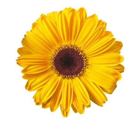 yellow stamens: Yellow gerbera daisy isolated on white