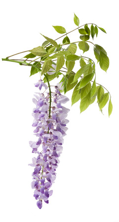 wisteria: wisteria flowers isolated on white