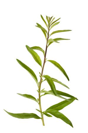Lippia polystachya (verbena) isolato su sfondo bianco