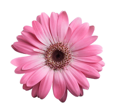 Pink gerbera daisy isolated on white Фото со стока