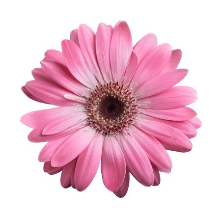 Roze gerbera daisy geïsoleerd op wit Stockfoto