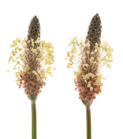 plantain: Ribwort plantain flowers isolated on white Stock Photo