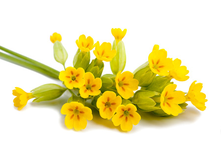 Primrose flowers  isolated on white background. Primula veris.