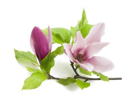 rosa flor de la magnolia aislada en el fondo blanco