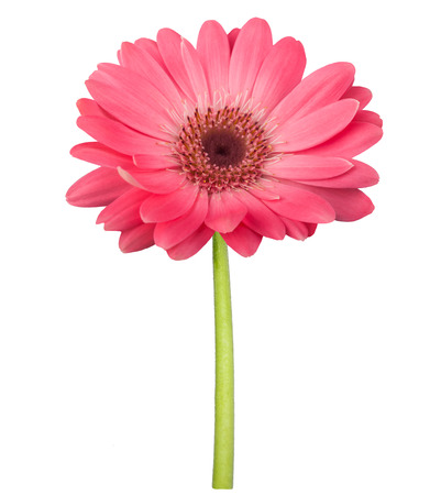 Pink gerbera daisy with stem isolated on white