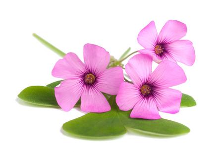 woodsorrel: Wood sorrel flowers with leaves isolated on white background