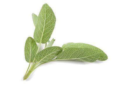 fresh leaf: Sage sprig back view isolated on white background