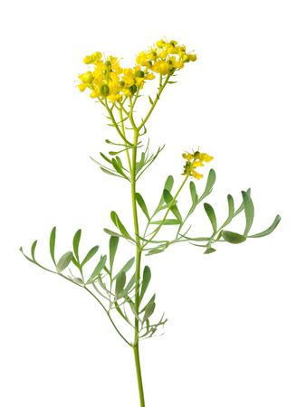 rue: Rue plant with flowers and leaves isolated on white