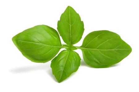 sprig: Fresh Basil sprig  isolated on white background
