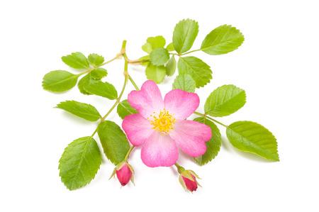 Dog rose sprig isolated on white