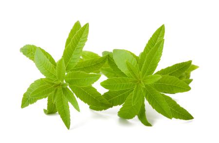 plantas medicinales: verbena de limón aisladas sobre fondo blanco