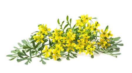 Rue flowers and leaves isolated on white