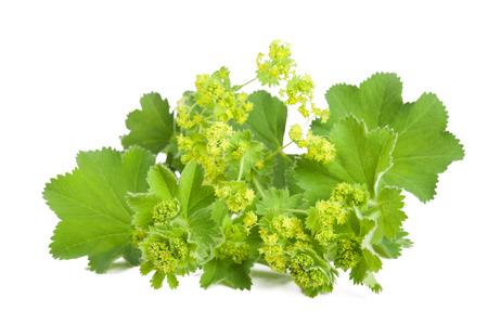 Lady's Mantle in flowering  isolated on white background