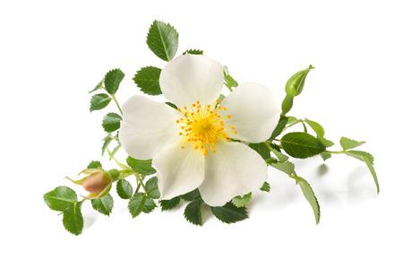 White Dog rose  isolated on white Stock Photo