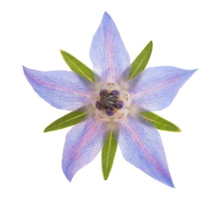 Borage flower (starflower) isolated on white background