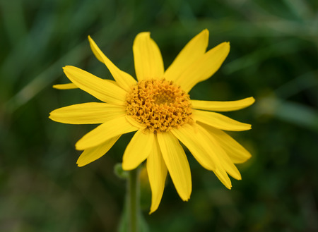 Arnica montana, yellow wild  mountain flower Standard-Bild