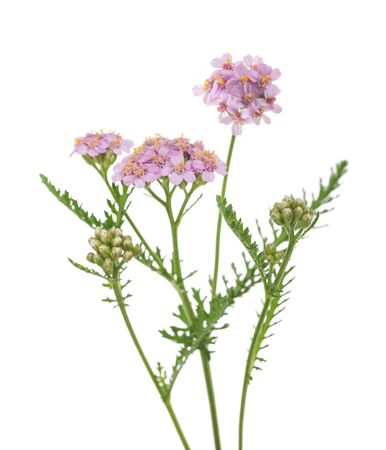 milfoil: yarrow flowers isolated  on a white background