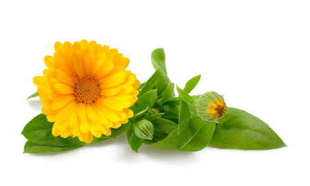 yellow stem: Calendula. Marigold flower with leaves isolated on white