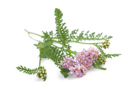 yarrow: yarrow flowers isolated  on a white background