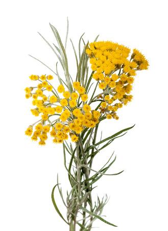 Immortelle (Helychrysum) isolated on white background 스톡 콘텐츠