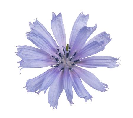 chicory flower: wild chicory flower isolated on white background