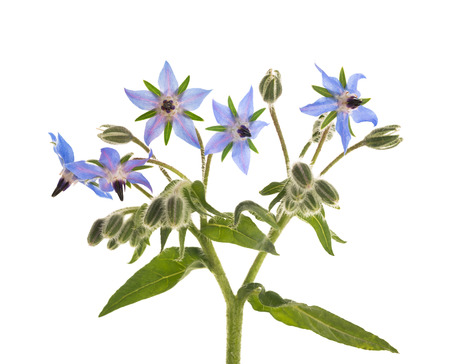 Borage flowers (starflower) isolated on white background