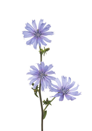 chicory flower: wild chicory flowers isolated on white background Stock Photo