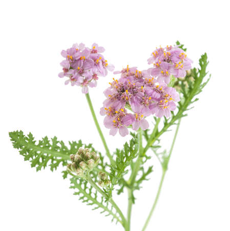 officinal: yarrow flowers isolated  on a white background