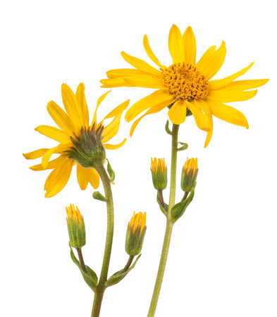 officinal: Arnica montana isolated on white background