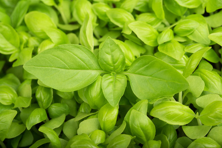 basil: Green fresh Basil  background, basil background