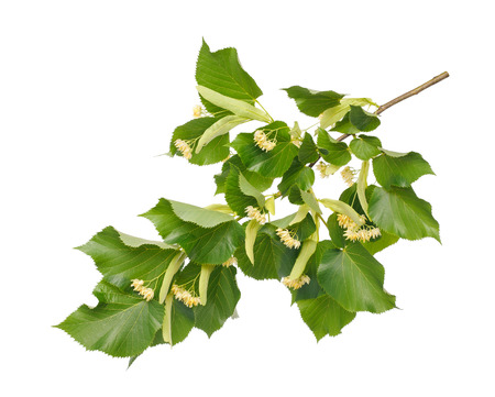 basswood: linden branch with flowers isolated on white background