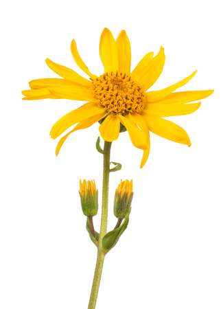 arnica: Arnica montana isolated on white background