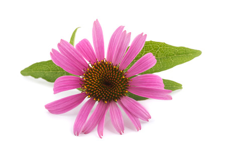 cures: Coneflower with leaves  isolated on white background