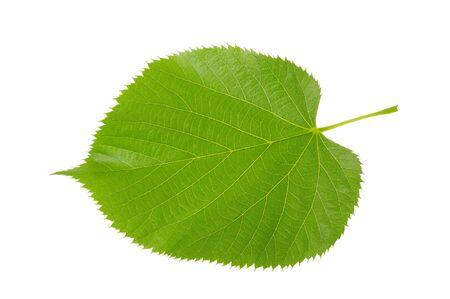 basswood: Linden leaf isolated on white background Stock Photo