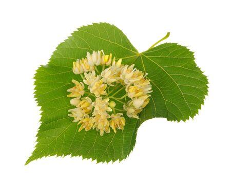 tilo: Hoja de tilo con flores aisladas en blanco Foto de archivo